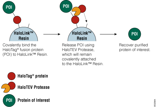 Schematic diagram of protein purification using HaloTag® Technology.