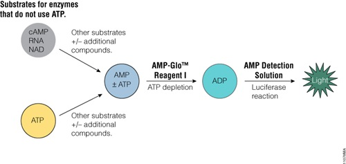 AMP-Glo™ Assay principle.