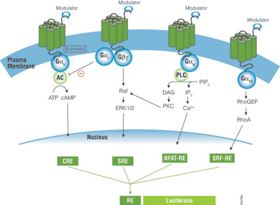 Schematic diagram of GPCR signaling pathways.