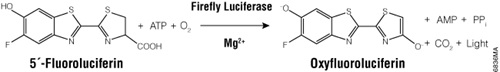 ONE-Glo Luciferase Assay System uses a novel firefly luciferase substrate, 5´-fluoroluciferin.