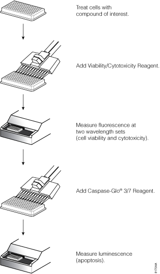 Overview of the ApoTox-Glo Triplex Assay protocol.